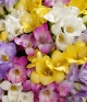 ../30 Fragrant Freesias