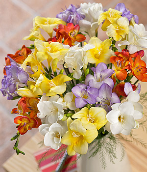 Send the sweet-smelling fragrance of 20 long-stemmed Dutch Freesia in mixed colours with greenery.