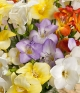 ../Fragrant Freesias