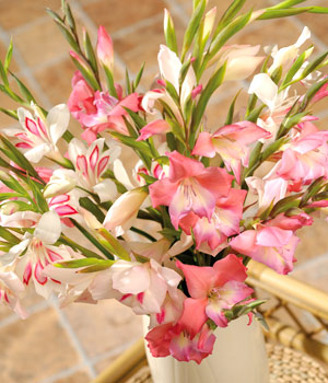 A stunning seasonal display of 20 lightly scented Gladioli in delightful shades of soft pink.