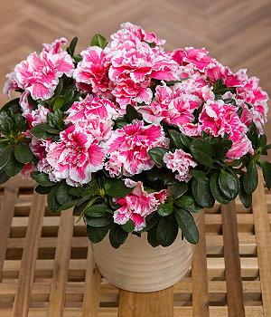 ../A beautiful Azalea pot plant with multiple flowering heads and glossy leaves delivered in a ceramic pot.
