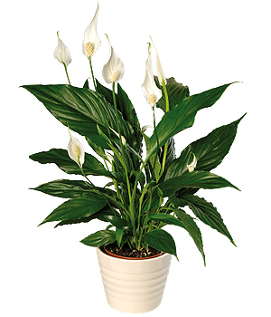 A lovely Peace Lily plant with white sail-like flowers and glossy deep green leaves in a cream plant pot.