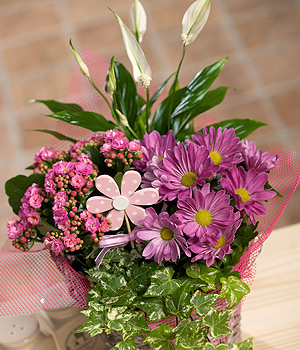 A basket filled with pink Kalanchoe, Peace Lily, Chrysanthemum and Ivy with pink dotty pick.